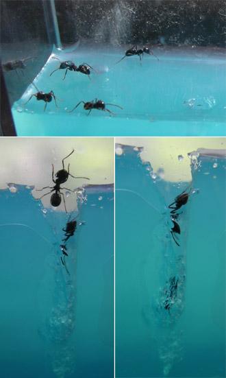 Ameisen im Antquarium