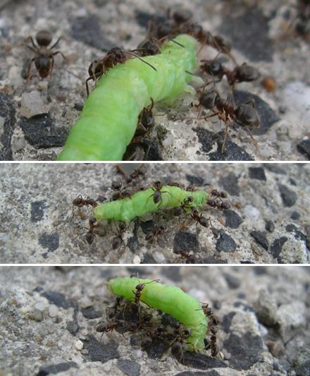 Ameisen überwältigen Raupe