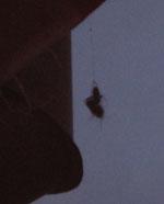 Spinne mit Junikäfer