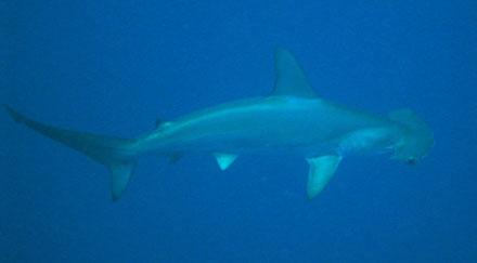 Der erste Hammerhai