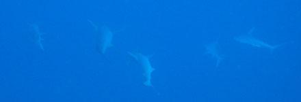 Hammerhaie verschwinden