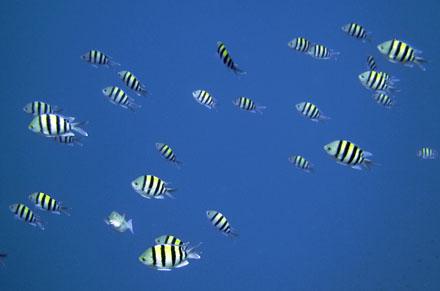 Indopazifischer Soldatenfisch
