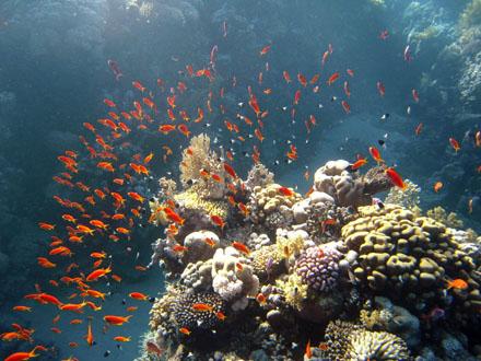 rote Fische am Korallenblock