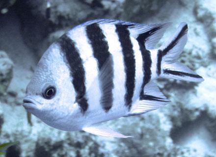 Scherenschwanz Soldatenfisch