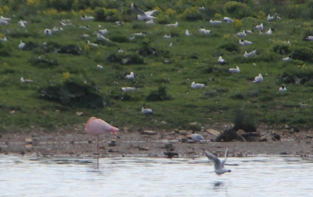 05_flamingo_20140504